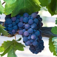 Vinova loza-Grozdje