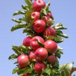 Stubaste jabuke